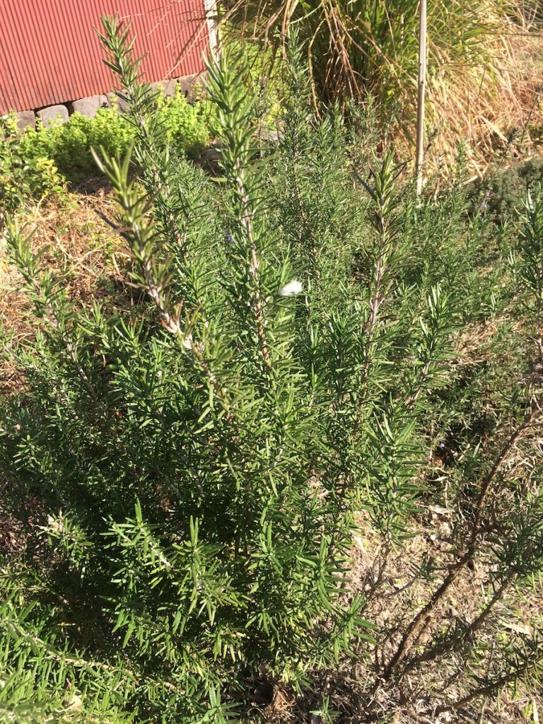 ローズマリー庭木